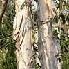 Melaleuca quinquenervia - bark