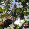 Cornus nuttullii - flowers