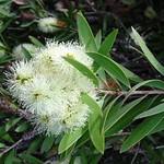 Melaleuca quinquenervia - flower