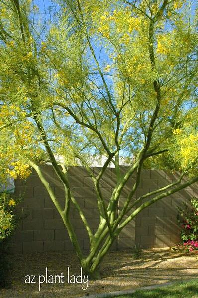 Parkinsonia aculeata 'Desert Museum' - multi trunk