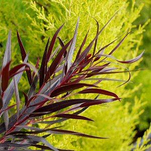 Agonis flexuosa 'Jervis Bay Afterdark' - foliage