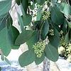 Eucalytpus polyanthemos leaves