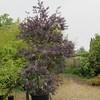 Acacia baileyana 'Purpurea'  - nursery container
