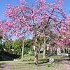 Ceiba (Chorisia) speciosa