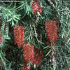 Callistemon viminalis - flowers