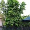 Magnolia champaca (Michelia)