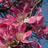 Ceiba (Chorisia) speciosa - flower