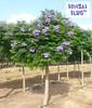 Jacaranda mimosifolia 'Sakai01'