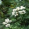 Lyonothamnus-floribundus-ssp-aspleniifolius-6