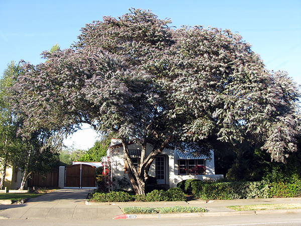 Acacia balileyana