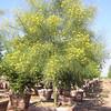 Parkensonia aculeata