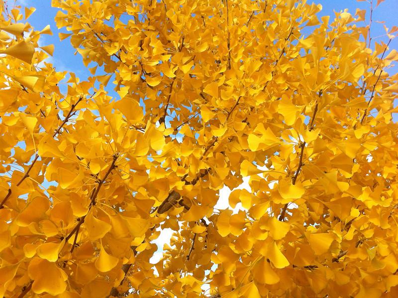 Gingko biloba - fall foliage