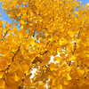 Gingko biloba - fall foliage