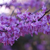 Cercis canadensis 'Forest Pansy' - flower