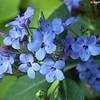 Eranthemum pulchellum - flower