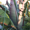 Ensete ventricosum 'Maurelii'