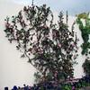 Camellia sasanqua - espalier