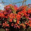 Bougainvillea mixed colors