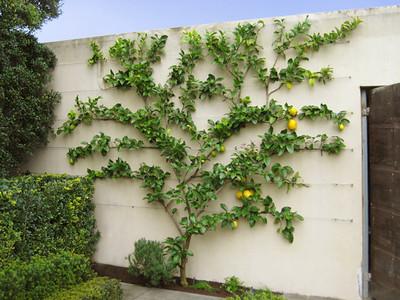 Lemon Tree espaliered
