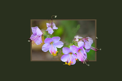 Cranes bill geranium blossums - framed