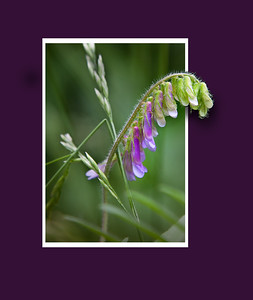 Hairy or cow vetch in a frame