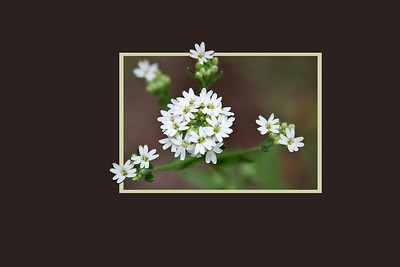 Hoary alyssum in a frame