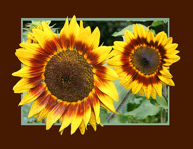 Two lovely sunflowers in an out-of-bounds frame, Two lovely sunflowers in an out-of-bounds frame