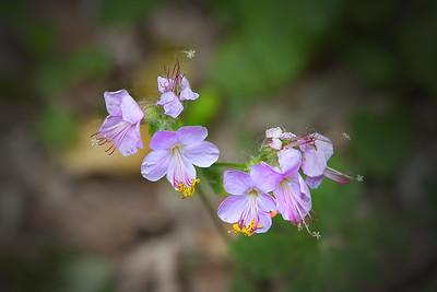 cranesbill or Bulgarian geranium, bigroot geranium