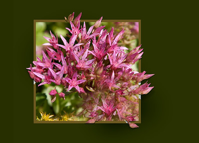 Dragon's Bloom Sedum
