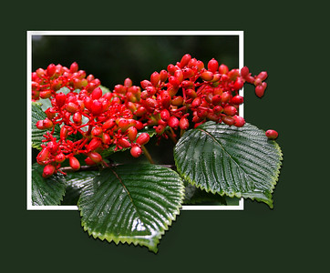 Viburnum Berries - framed