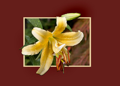 an OOB lily suitable for a greeting card