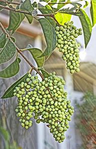 Japanese privet /ligustrum japonicum