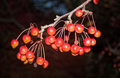 Ripe Hawthorn Berries