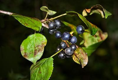 Buckthorn Berries (Rhamnus)