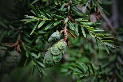 Arborvitae cones