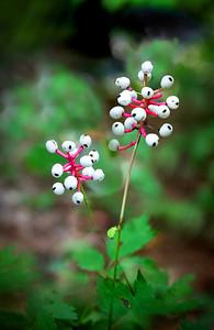 Doll's Eyes aka White Baneberry aka Actaea pachypodia (L.)