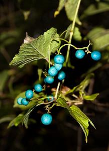 Beautiful Porcelain Berries