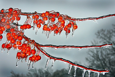 a cluster of crabapples after an ice storm