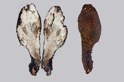 Dead Man's Finger - inedible mushroom