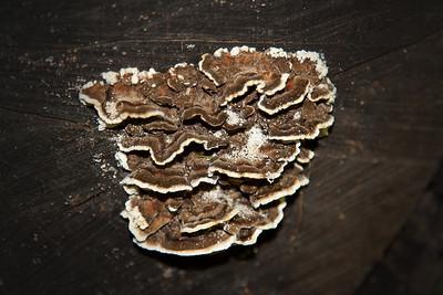 Turkey Tail mushroom - Trametes