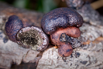 Coal Fungus, also called Cramp Ball & King Alfred's Cake - Daldinia concentrica