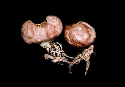 Stink Poke - Phallogaster saccatus