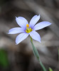 Blue-eyed grass (Sisyrinchium angustifolium)