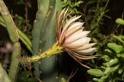 Night-Blooming Cereus (Reina de la noche) - Selenicereus spinulosus