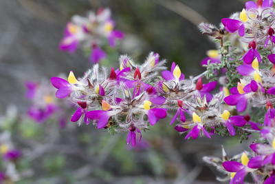 Feather Dalea - Dalea formosa