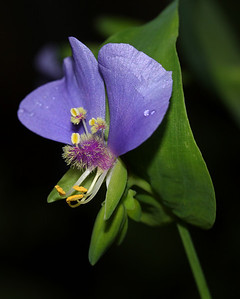 False Day Flower - Tinantia anomala