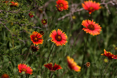 Blanket Flower - Gaillardia aristata (Asteraceae)