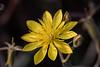 Adonis Blazingstar - Mentzelia multiflora