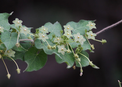 Pearl Milkweed (Matelea reticulata)