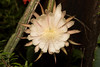 Night-Blooming Cereus (Reina de la noche) - Selenicereus spinulosus